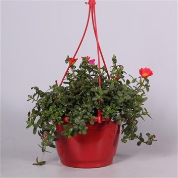 Portulaca rood in hangpot