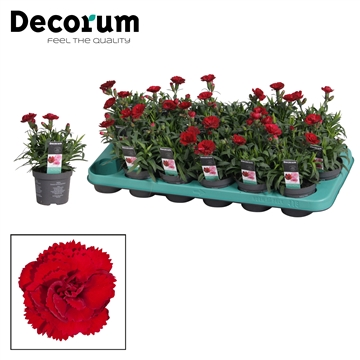 Dianthus - 9 cm - Oscar Dark Red - Decorum