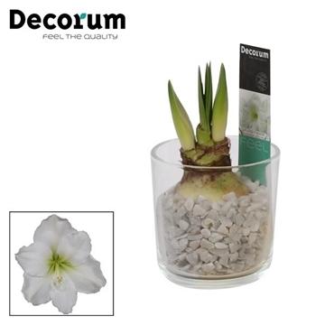 Hippeastrum Wit 2 Knop in Glaspot Claudia (Decorum)