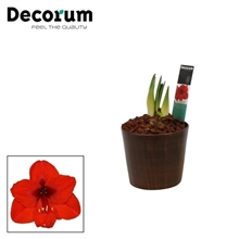 Hippeastrum Mix 2 Knop in Ompot Robin Wood (Decorum)