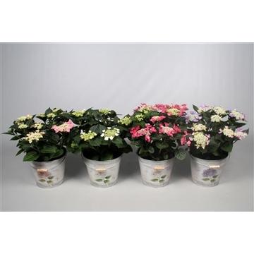 Hydrangea Teller diverse kleuren 7-12 kop in Bucket