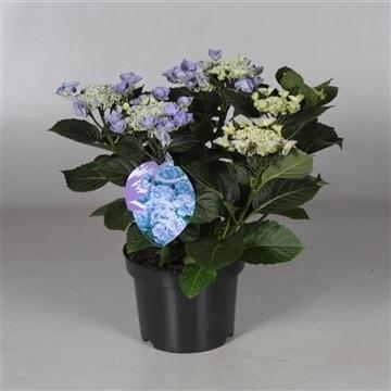 Hydrangea Teller Nizza Blue 7 - 12 kop