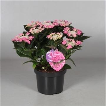 Hydrangea Teller Nizza Pink 7 - 12 kop