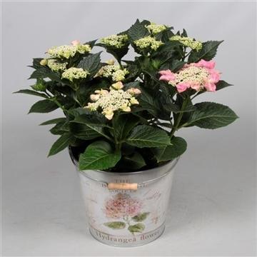 Hydrangea Teller Nizza Pink 7 - 12 kop in Bucket
