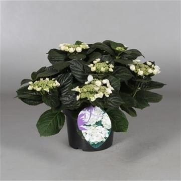 Hydrangea Teller Benxi (wit) 7 - 12 kop