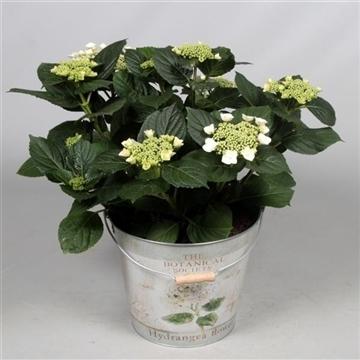 Hydrangea Teller Benxi (wit) 7 - 12 kop in Bucket