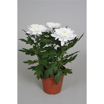 Chrysanthemum Chrysanne® 'Nova Zembla' White