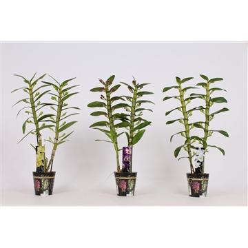 Dendrobium Nobile 2 tak 12+tros gemengd in potcover (RAUW)
