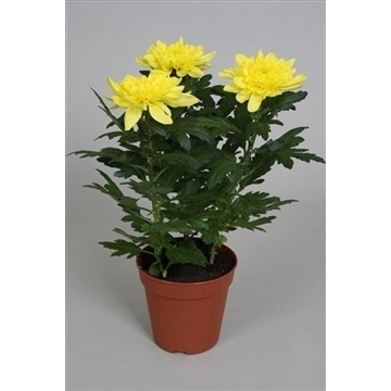 Chrysanthemum Chrysanne® 'Nova Zembla' Yellow