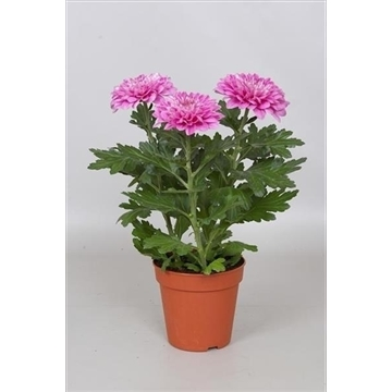 Chrysanthemum Chrysanne® 'Nova Zembla' Purple