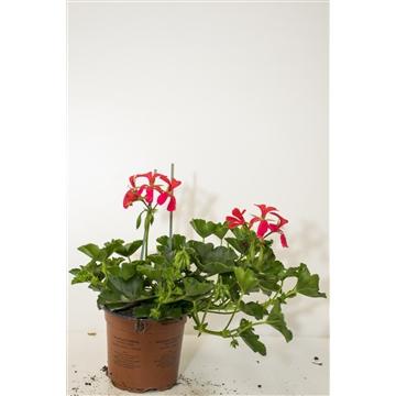 Pelargonium Peltatum Enkelbl. Donkerroze