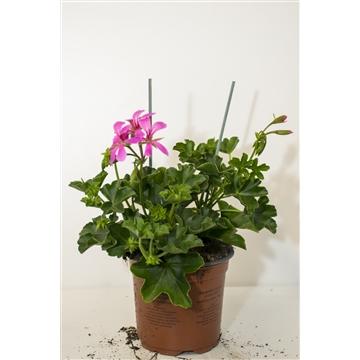 Pelargonium Peltatum Enkelbl. Lila