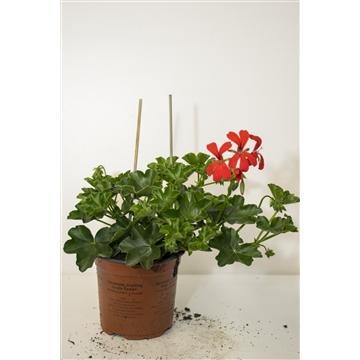 Pelargonium Peltatum Enkelbl. Rood