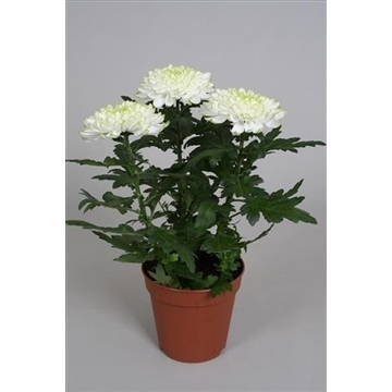 Chrysanthemum Chrysanne® 'Nova Zembla' Lime