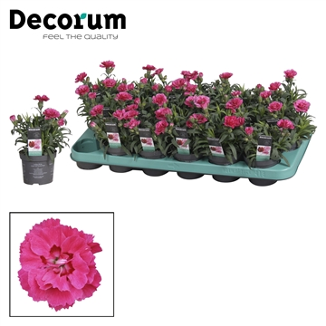 Dianthus - 9 cm - Oscar Purple Wings - Decorum