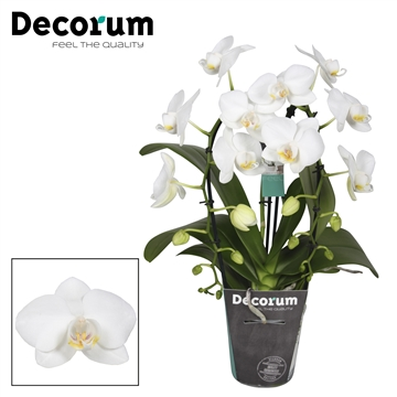 Decorum cascade 2 tak wit P9