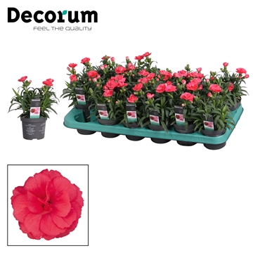 Dianthus - 9 cm - Oscar Red - Decorum