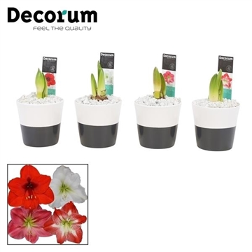 Hippeastrum Mix 2 Knop in Ompot Lisa (Decorum)