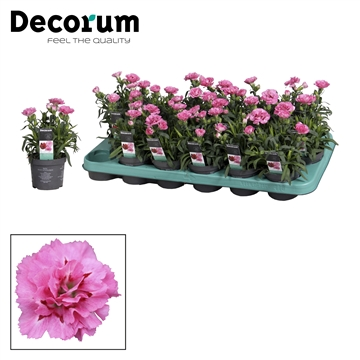 Dianthus - 9 cm - Oscar Purple Star - Decorum