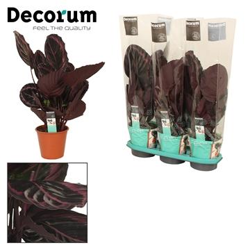 Calathea 19cm surprisestar decorum
