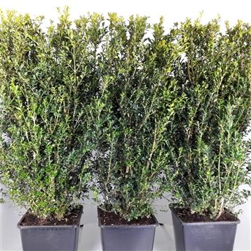 Buxus Sempervirens 80cm hegvorm
