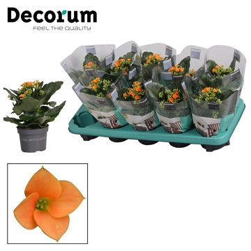 Kalanchoë enkelbloemig - 10,5 cm -  Tombo (orange) - Decorum