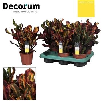 Croton Mammi 3pp kopstek (YELLOW)