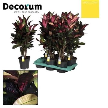 Croton Mrs. Iceton vertakt (YELLOW)