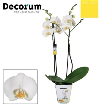 Phalaenopsis 2 tak wit (Yellow Decorum)