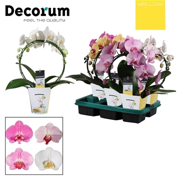 Phalaenopsis boog mix (Yellow Decorum)