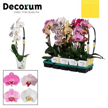 Phalaenopsis cascade 1 tak mix (Yellow Decorum)