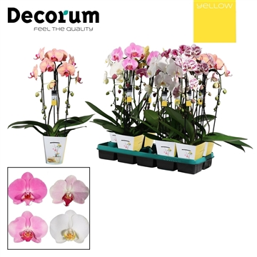 Phalaenopsis cascade 2 tak mix (Yellow Decorum)