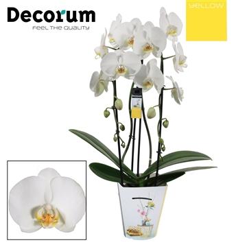 Phalaenopsis cascade 2 tak wit (Yellow Decorum)