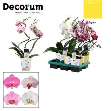 Phalaenopsis hurricane mix (Yellow Decorum)