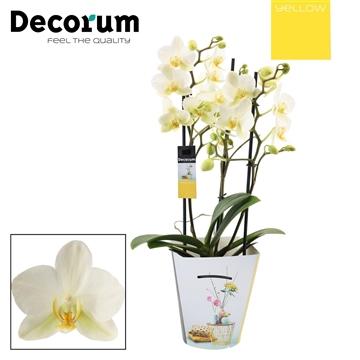Phalaenopsis multi 3+ tak Lausanne (Yellow Decorum)