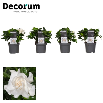 Gardenia Decorum