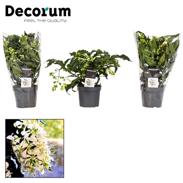 Clerodendrum Prospero 13cm