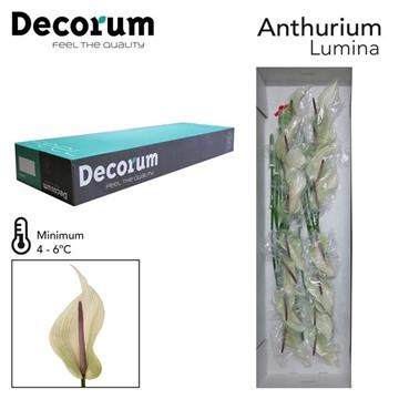 ANTH LUMINA Decorum