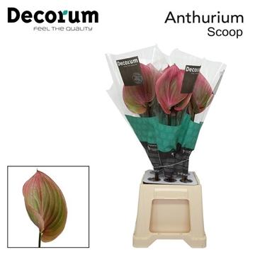 ANTH SCOOP 40 Decorum