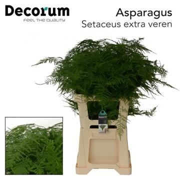 ASPARAGUS SET extra veren DC (50)