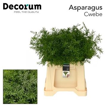ASPARAGUS cwebe 65cm DC