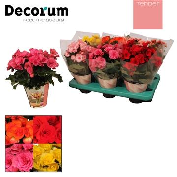 Begonia gemengd  tender 1