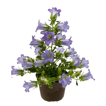 Campanula Blue MARY MEE®