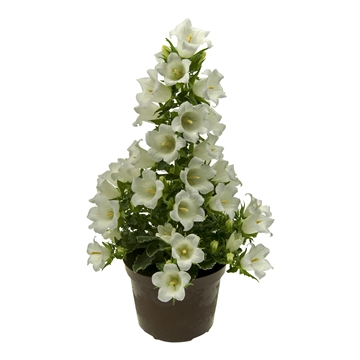 Campanula White MARY MEE®