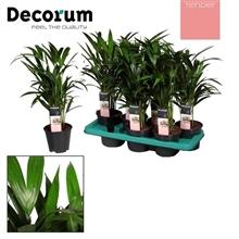 Dypsis lutescens (Areca) (TENDER)
