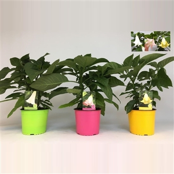 MoreLIPS® Brugmansia bush Mix