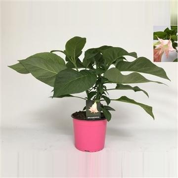 Brugmansia bush pink