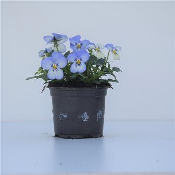 Viola Cornuta Blue Picolee / Blauw en wit