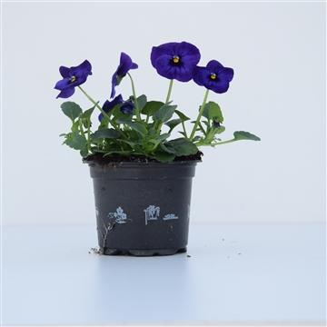 Viola Cornuta Blue with Blotch / Blauw met oog