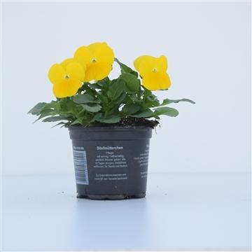 Viola Cornuta Golden yellow / Geel